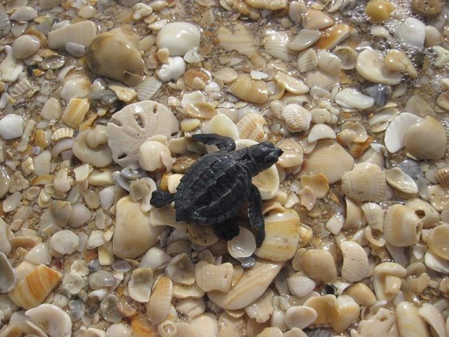 A Kemp's ridley hatchling crawling through sea shells on its way into the Gulf of Mexico.