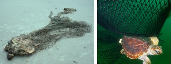 A dead stranded sea turtle in a shrimp fishing net and a live sea turtle escaping from a shrimp fishing net