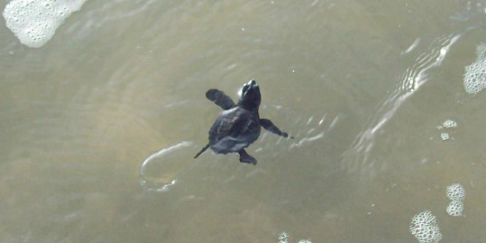 A Kemp's ridley hatchling swimming in the water.
