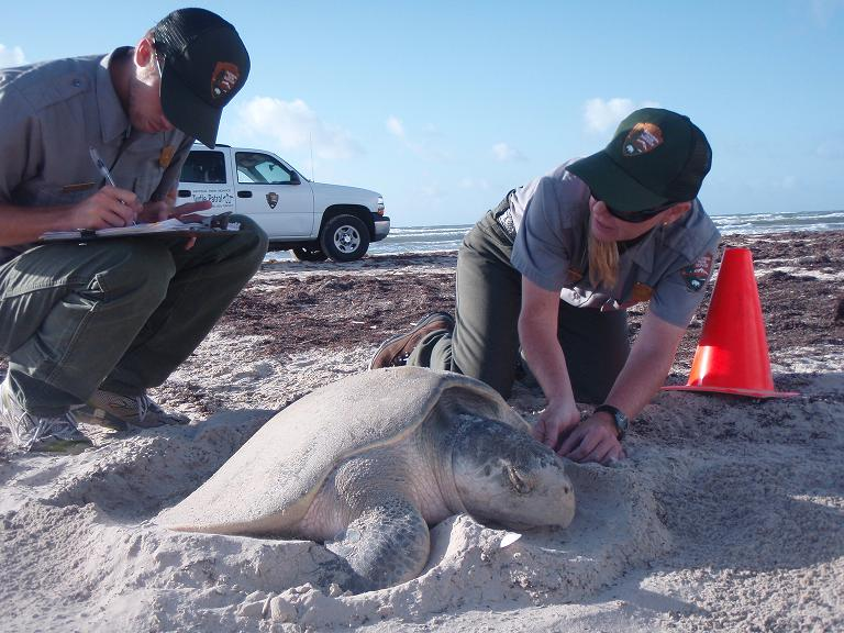 Dr. Shaver examines a nesting Kemp's ridley sea turtle while a biological technician records data.