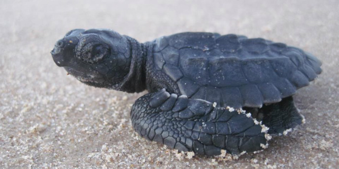 A tiny Kemp's ridley hatchling sits on the sand at Padre Island.