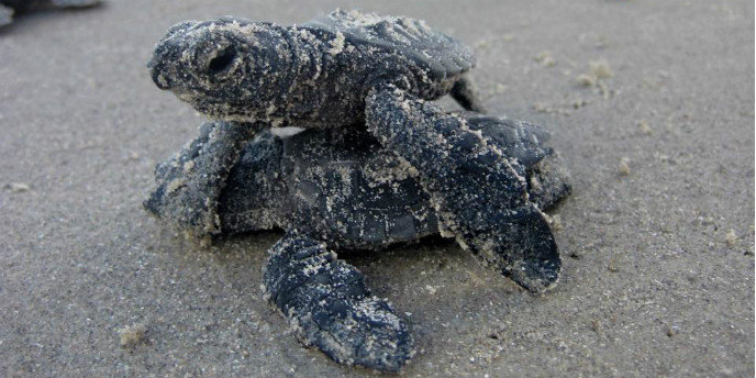 Two Kemp's ridley hatchlings crawl over each other.