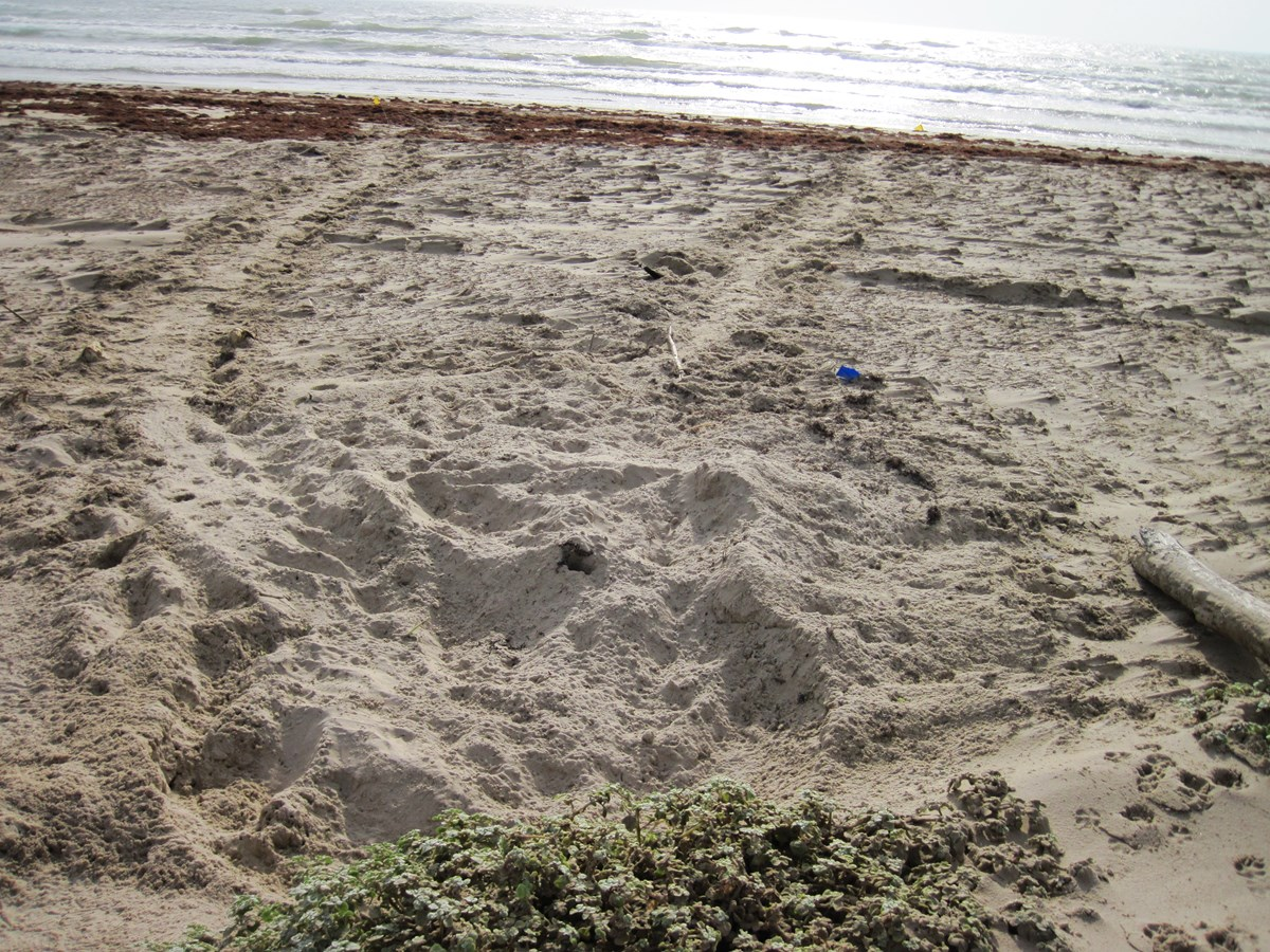 Large tracks and nest area are made when loggerhead sea turtle nest on the beach.