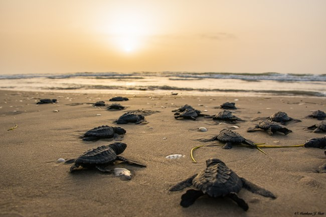 Kemp's ridley sea turtle hatchlings crawl toward the Gulf of Mexico on Padre Island National Seashore.