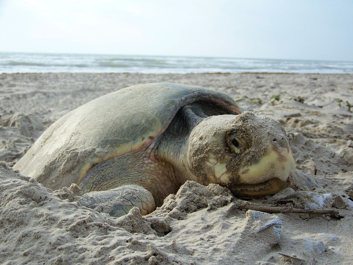A female Kemp's ridley sea turtle nesting on the beaches of Padre Island National Seashore.