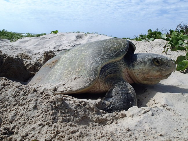 A female Kemp's ridley sea turtle nesting on Padre Island.
