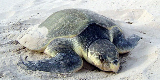 A nesting Kemp's ridley sea turtle on the beach at Padre Island.
