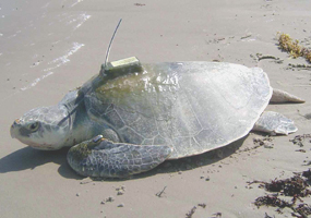 Pierre--an adult male Kemp's ridley with a satellite tracking device glued to his carapace.