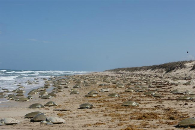 2011 mass nesting of hundreds of Kemp's ridley sea turtles in Mexico