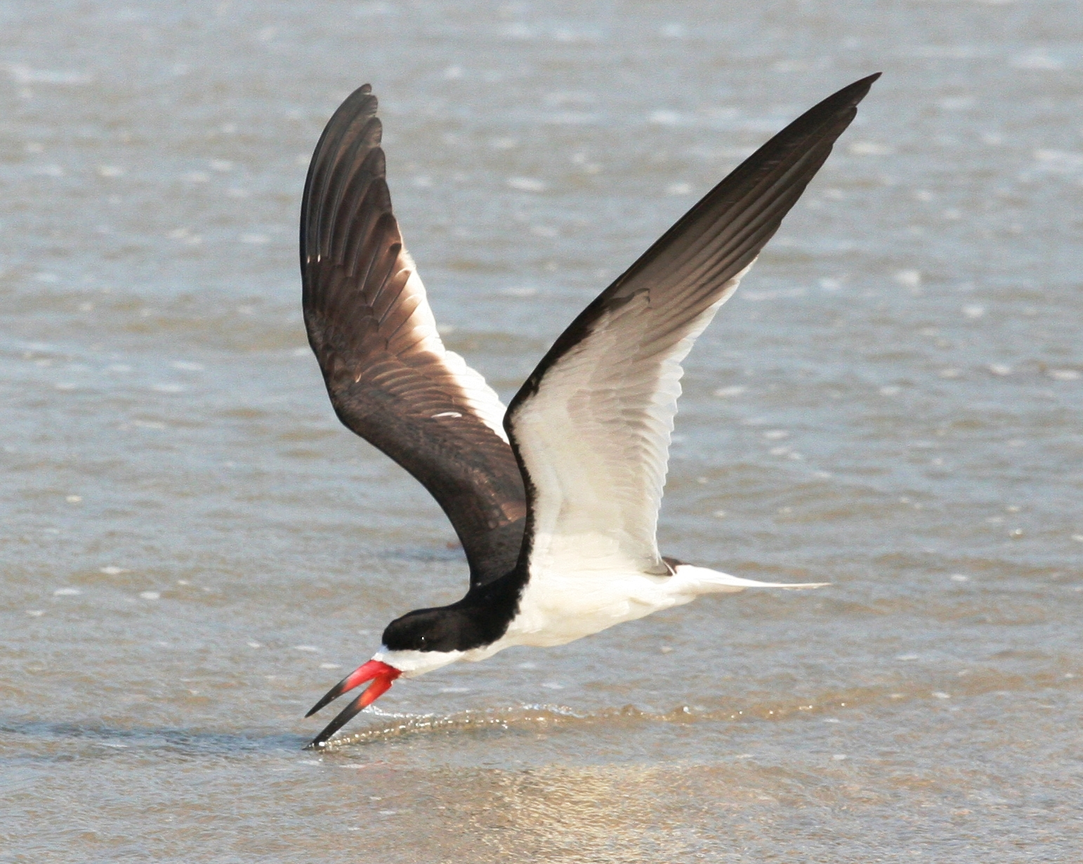 Black skimmer gliding for fish
