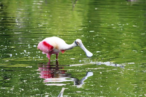 A beautiful, pink roseate spoonbill feeds in one of Padre Island's ephemeral freshwater ponds