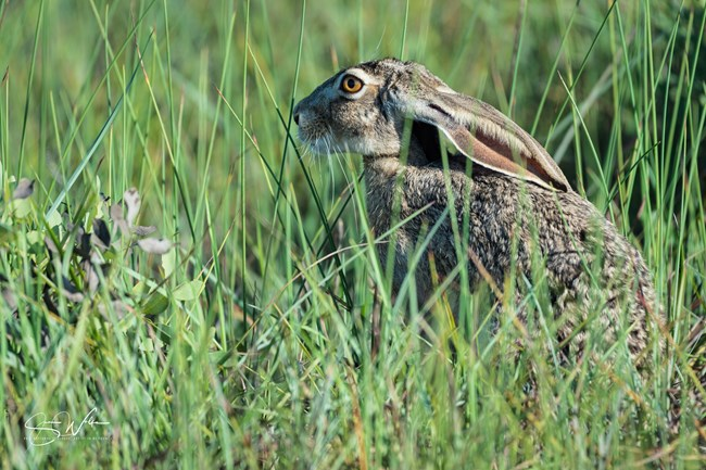 Photo of profile of black-tailed jackrabbit sitting and facing left.  It's ears are held down along its back and its legs are obscured by the grass it is sitting in.