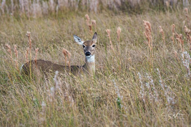 Photo of doe looking at the camera, standing in tall grass that obscures legs.