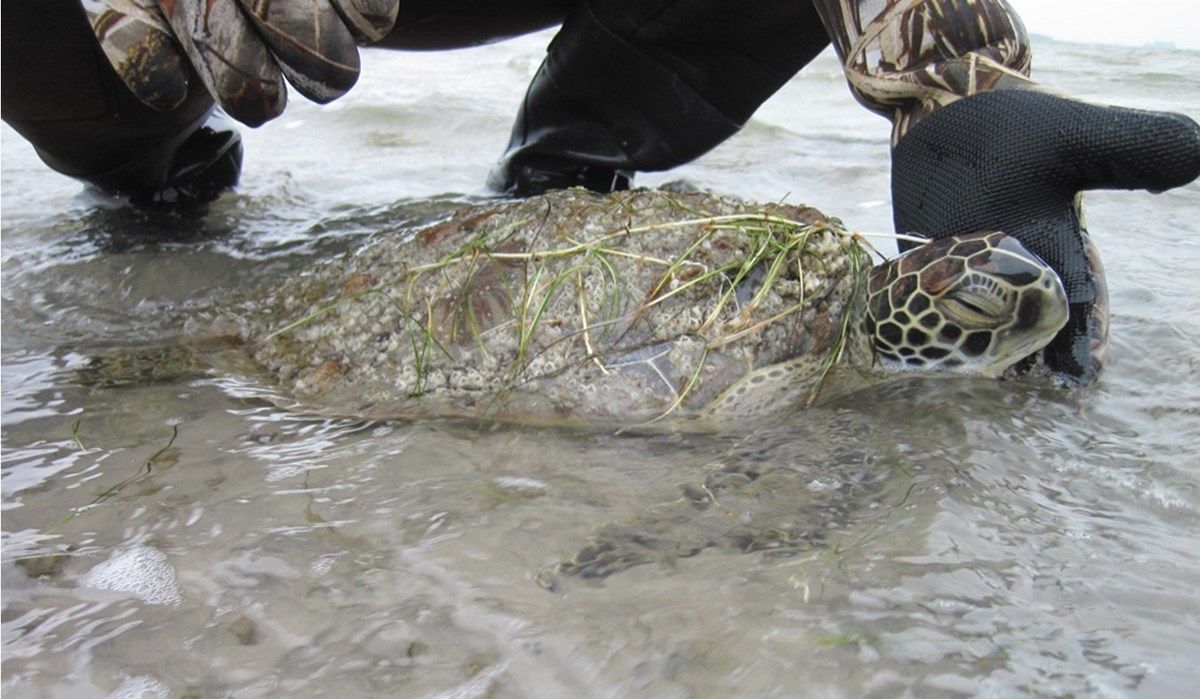 A cold stunned sea turtle lays in shallow water and a person holds it's head out of the water.