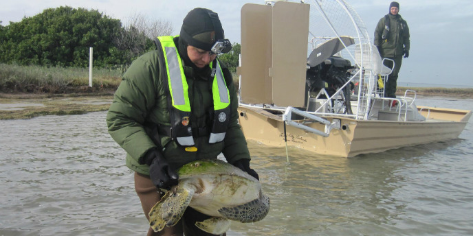 A woman rescues a cold stunned sea turtle from shallow water near an airboat.