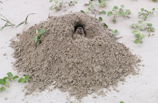 Photo of large pile of disturbed earth with a pocket gopher in the middle, pushing dirt out of the burrow