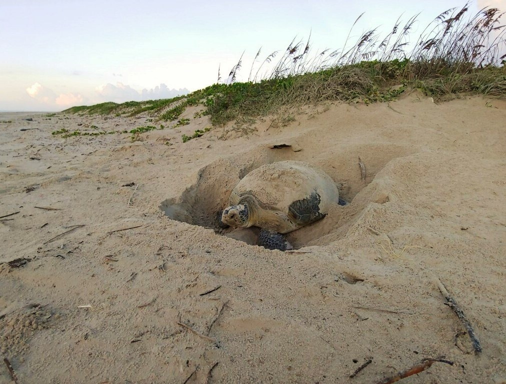 A green sea turtle nesting at the base of sand dunes in the early morning.