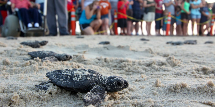 Visitors, including a visitor in a beach wheelchair, watch and take photos of sea turtle hatchlings during a release.