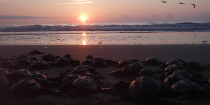 Kemp's ridley hatchlings look toward the sun rising over the Gulf of Mexico.