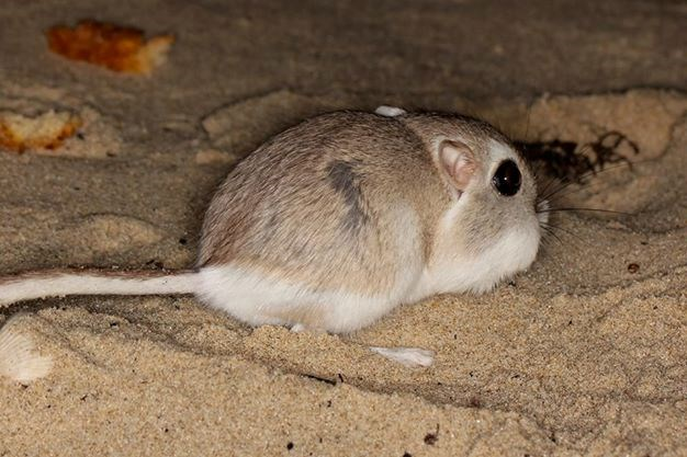 Kangaroo rat in the dunes