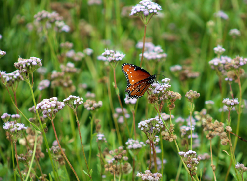 A queen butterfly (Danaus gilippus) feeds on a Padre Island mistflower (Conoclinium betonicifolium). This plant is a major nectar source for many pollinators on Padre Island.