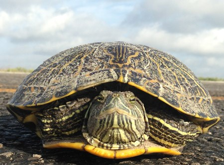 Red-eared slider on the road