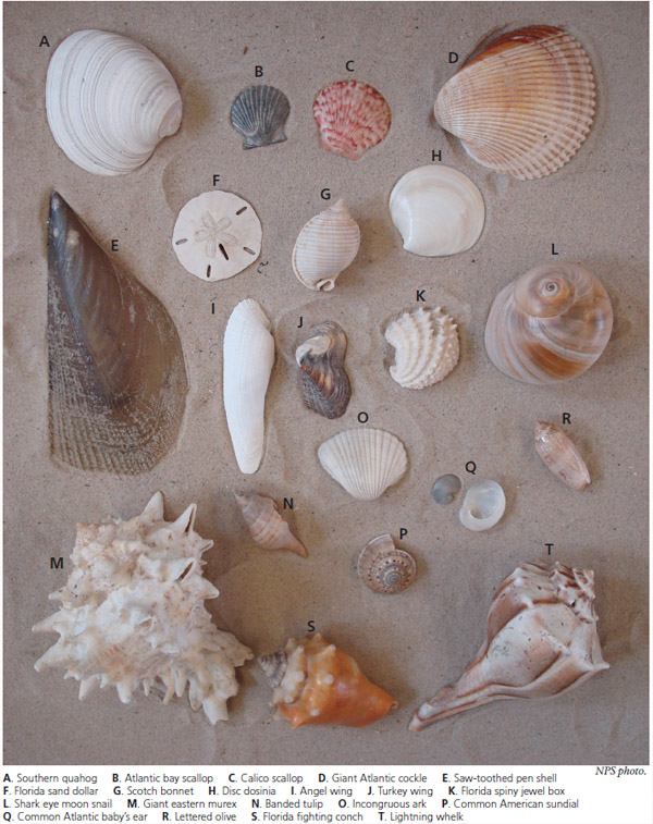 Common shells of Padre Island National Seashore
