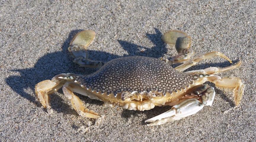 U Have Crabs Speckled Swimmi...