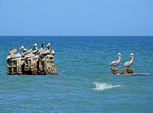 Pelicans resting on shipwreck during low tide