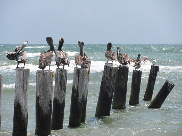 Brown Pelicans on posts in surf on Padre Island