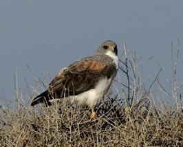White-tailed Hawk-John Ewan, NPS vol