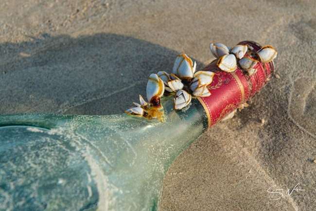 Photo of gooseneck barnacles attached to the neck of a glass bottle lying on the beach.