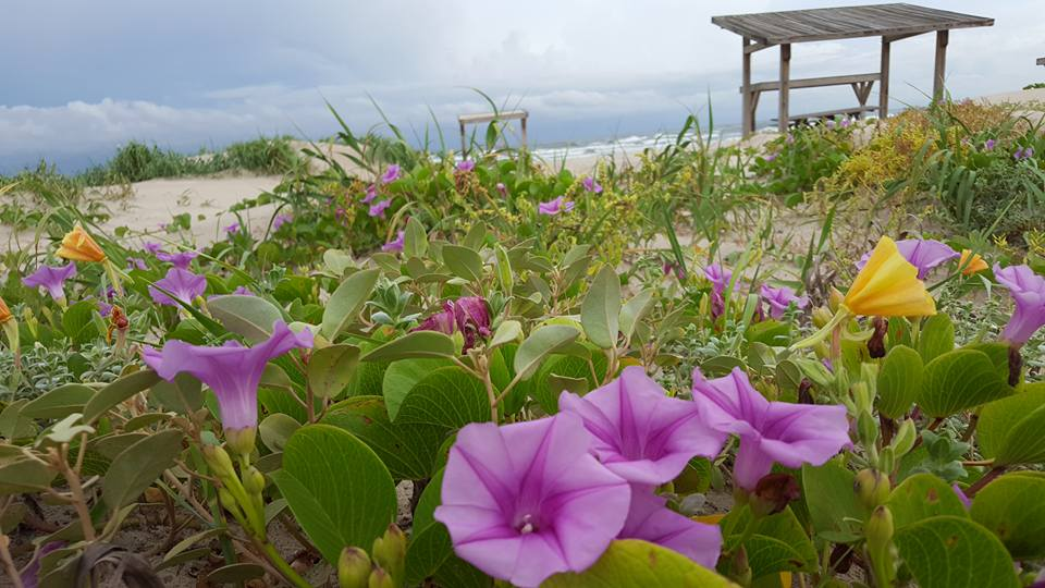 Wildflowers bloom near the shade structures at Malaquite Beach
