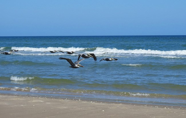 Brown pelicans fly over the Gulf waters at Malaquite Beach