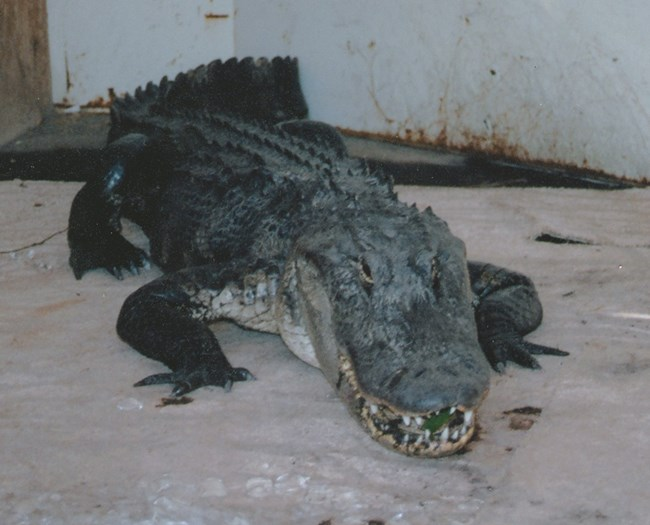 A seven foot alligator sits inside of a cargo awaiting transport.