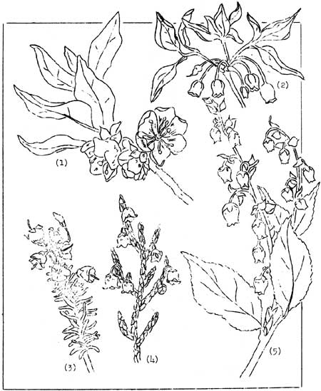 Pink Rhododendron Drawing 1 White Rhododendron