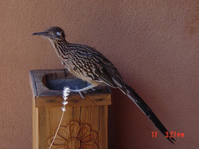 Roadrunner perched on a wooden post.