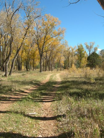 Cottonwood trees lining a two-track path through tall grass