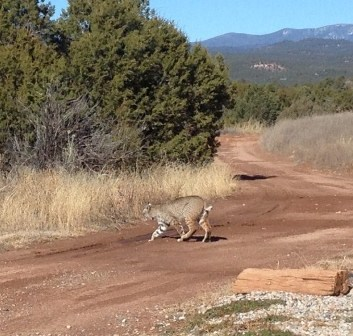 Side view of large bobcat crossing trail