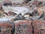 Petrified Forest National Park Wildlife Horned Lark
