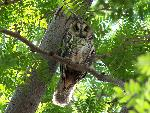 Petrified Forest National Park Wildlife Long-eared Owl