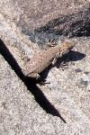 Petrified Forest National Park Wildlife Side-blotch Lizard
