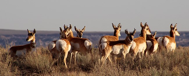 A group of young pronghorn at sunset