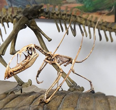 small skeleton perched among larger skeletons