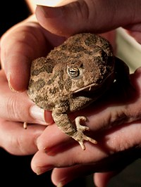 hands holding a toad