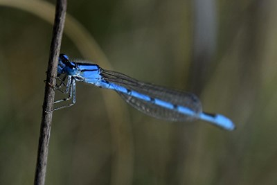 Bluet Damselfly (Enallagma sp) sitting