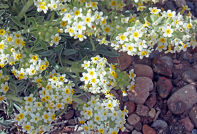 small white and yellow flowers grow over rocky ground