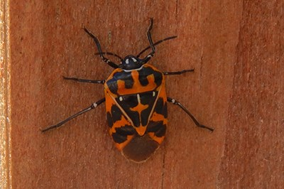 Harlequin Bug on the wall