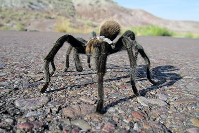 Tarantulas walking on the road