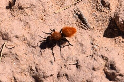 Velvet ant on the ground